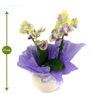 Orquídea Bogotá mini