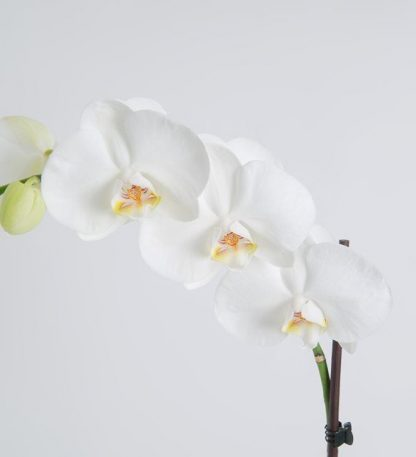 Floristeria Bogota ► Orquídea Bogota