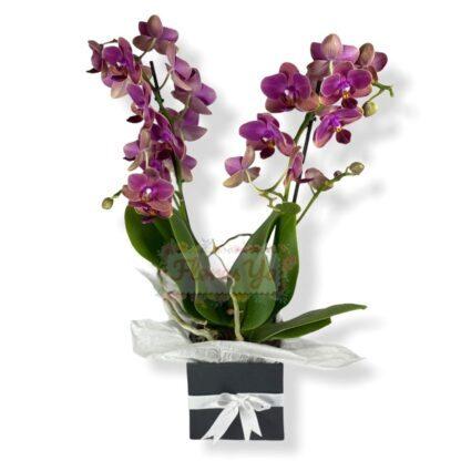 Orquídea Phalaenopsis Mediana